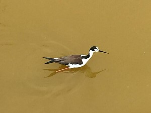 black necked stilt.JPG